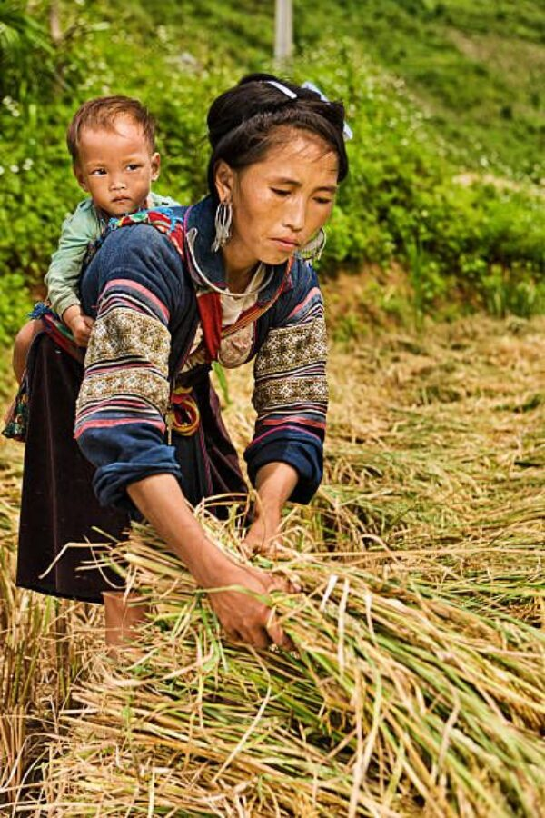 Woman harvesting hemp